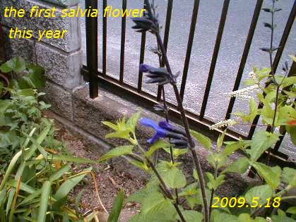 今年最初のメドーセージ 2009.5.18
