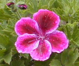 ゼラニウム④紅に白縁 2009.5.24