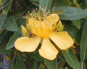 ビオウヤナギL 2009.5.28