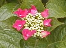 ガクアジサイ赤小 2009.6.8