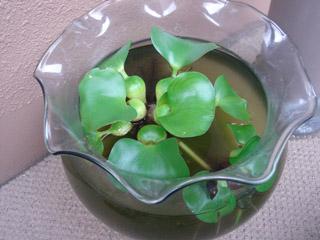 金魚鉢の水はグリーンウォーター?