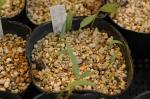 Trillium vaseyi seedlings
