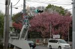 公園入り口&八重桜