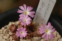 Conophytum minusclum subsp. aestiflorens