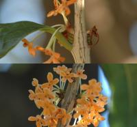 キンモクセイの芽