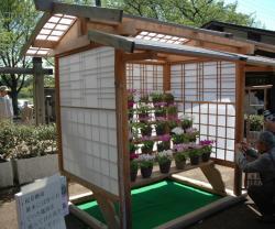 桜草展ひな壇