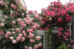 我が家のバラ