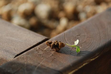 ルッコラの芽を抜いてみた
