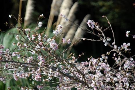 寒桜とススキ