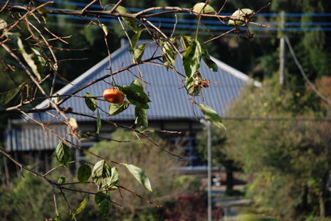 よそさまのお宅の柿