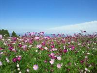20101017 生駒高原 コスモス