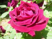 うちの赤いバラ