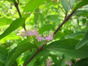 紫式部の花6月縮小ph