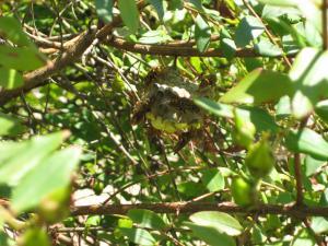 アシナガ蜂の巣縮小ph