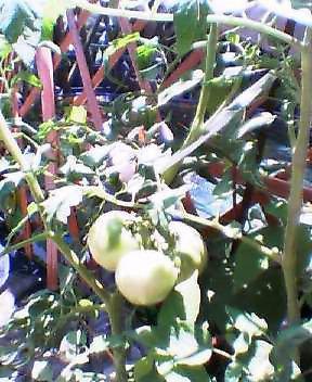 2008-0714-tomato.jpg