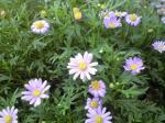 町で見かけた花シリーズ08257