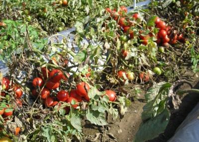 新品種トマト