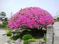 本田さんのお宅の見事な花です。
