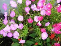08.7隣の花
