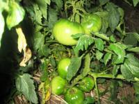0まだ青い裏のトマト