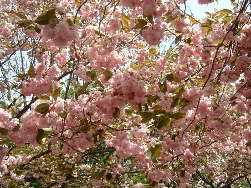 密集した桜