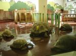 室内のゾウガメ達