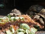 ケズメリクガメの食事風景