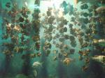 牡蠣の養殖の様子