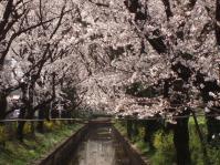 桜の下から