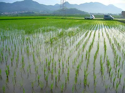 稲の草取り0
