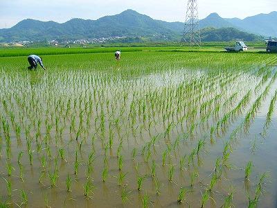 稲の草取り1