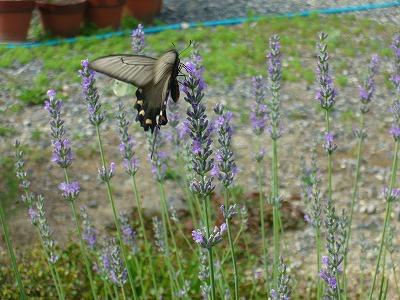 黒い蝶々とラベンダー