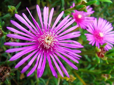 マツバ菊ピンク