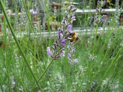 蜜蜂とラベンダー