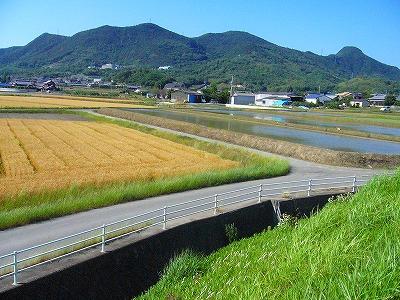 田植え前と麦