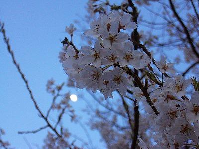 淡墨桜アップと月