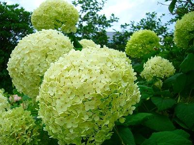 紫陽花のような白花