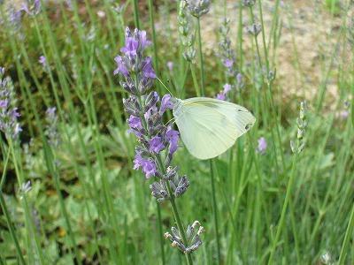 白い蝶々とラベンダー