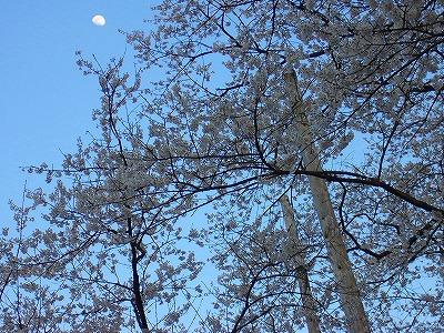 淡墨桜と月