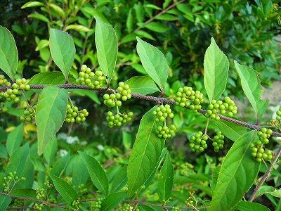 ムラサキシキブ実緑
