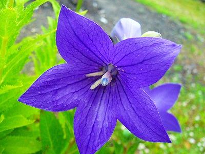 ききょう紫