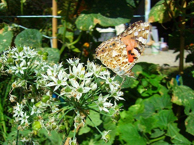 ニラの花と蝶々