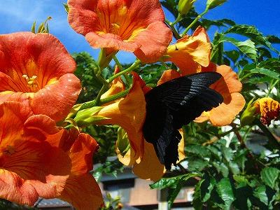 カズラと黒い蝶々