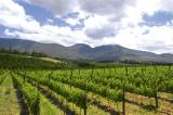 Thandi20vineyards_JPG.jpg