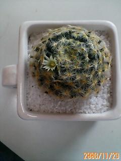 サボテンちゃんの花