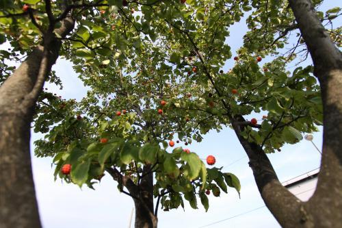 街路樹 木の実