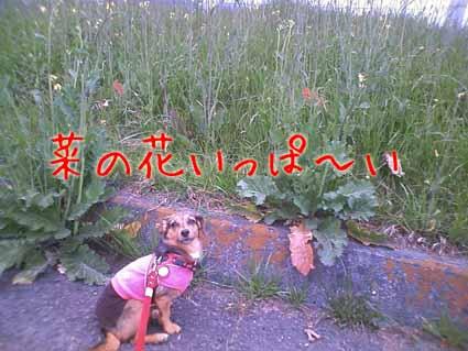 菜の花いっぱ~い