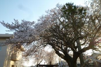 2014.4桜