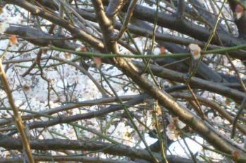2012.4桜と梅