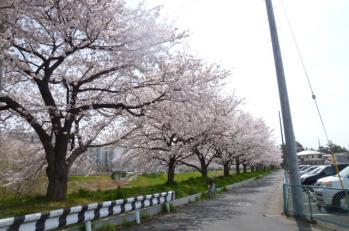 2012.04.10桜
